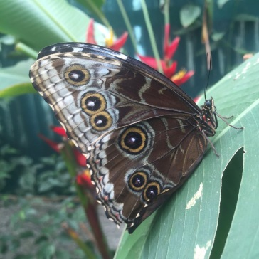 Blue Morpho outside.